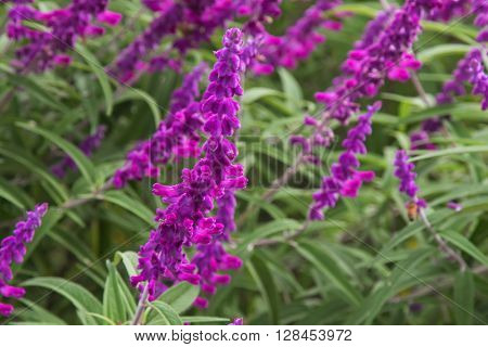 Selective focus of Mexican bush sage flowers (Salvia leucantha) in purple shade in the garden