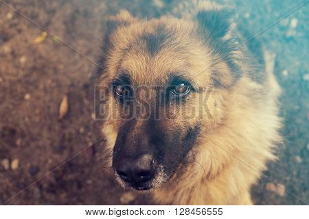 Beautiful Dog German Shepherd (Pi?kny Pies Owczarek Niemiecki) - Portret