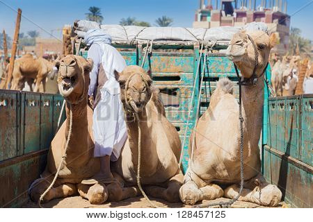 Camels on the back of truck on Camel Market in Daraw, Egypt.