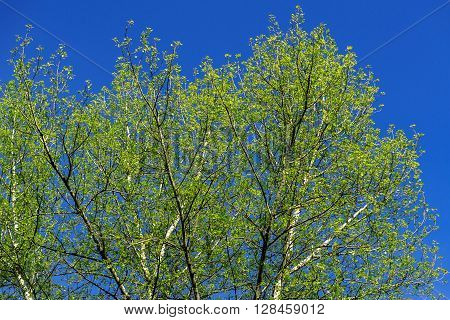 Summer Green Tree On Blue Sky Background