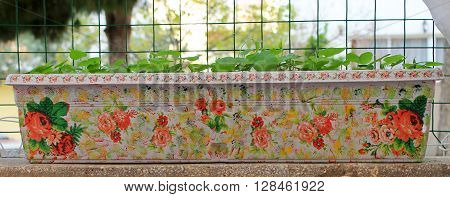 Morning Glory Flowers Young in a beautiful decorative flower handmade container