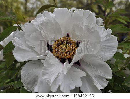 White-blown bud Chinese tree peony, close-up plan