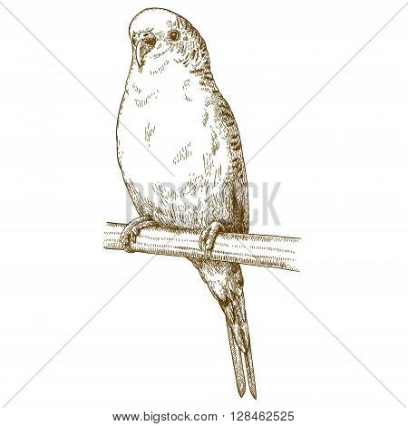 Vector antique engraving illustration of budgerigar isolated on white background