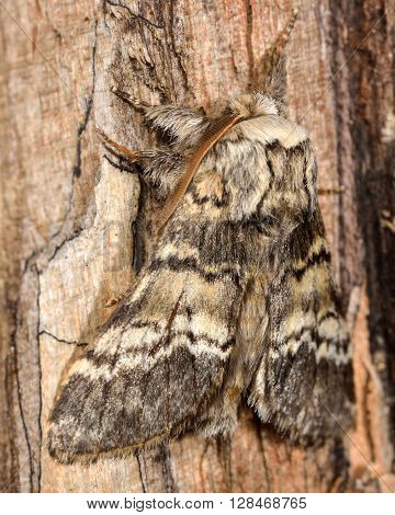 Lunar marbled brown moth (Drymonia ruficornis) from side. British nocturnal insect in the family Notodontidae at rest