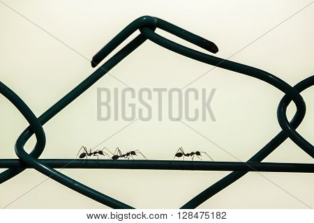Silhouette of three ants marching in the same direction one by one on a wire. ** Note: Visible grain at 100%, best at smaller sizes