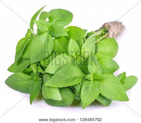 Fresh garden herb. Green basil isolated on white background. Bunch of basil isolated on white