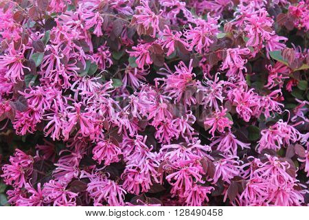 Loropetalum (Chinese Fringe) Composite springtime bloom with multiple flowers which may be used as background
