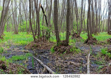 woodland on spring bog in forest