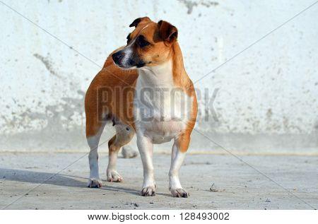 Jack Rassell terrier