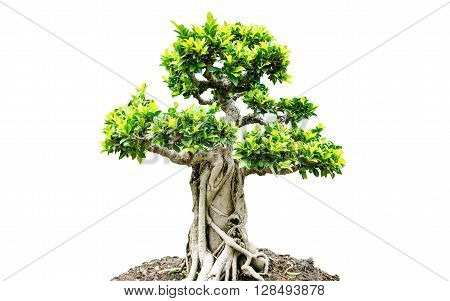 Bonsai trees isolated on a white background.