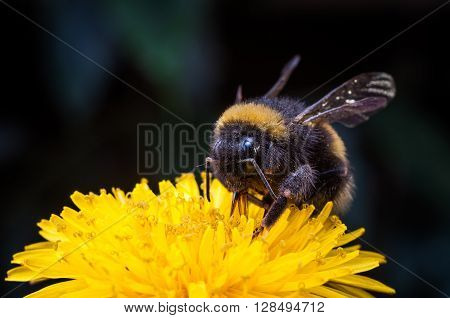 Macro of a bumblebee collecting nectar on Echinacea flower.