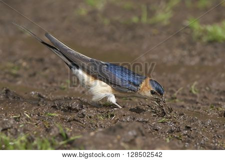 Red-rumped swallow (Cecropis daurica) collecting mud for its nest