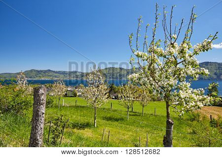 Flowering Tree In Blossom In Front Of Lake Attersee