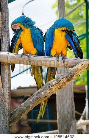 Two blue and yellow Macaw Parrots