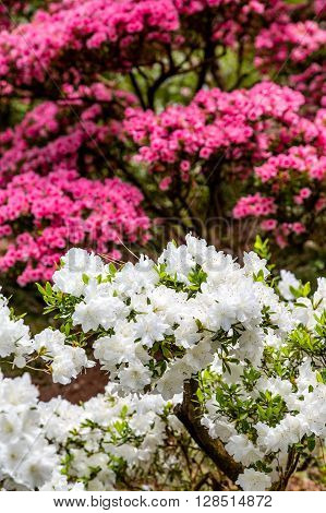 White and Pink Azaleas in Spring Garden