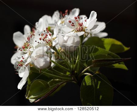 Closeup view of white burgeons of the pear tree with stamens and petals against the black background.