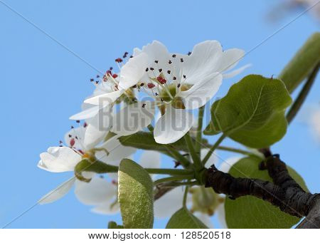 Closeup view of burgeons of the pear tree with stamens and petals against the blue sky.