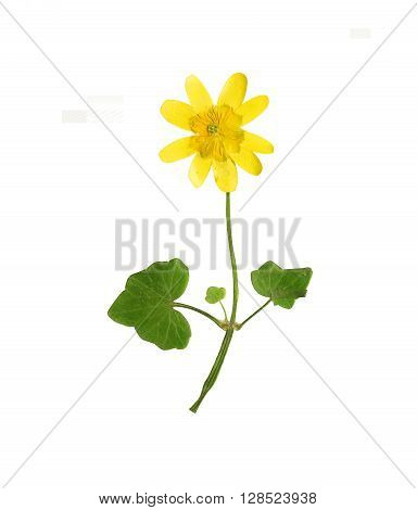 Pressed and dried stalk of yellow ficaria verna with flowers. Isolated on white background.