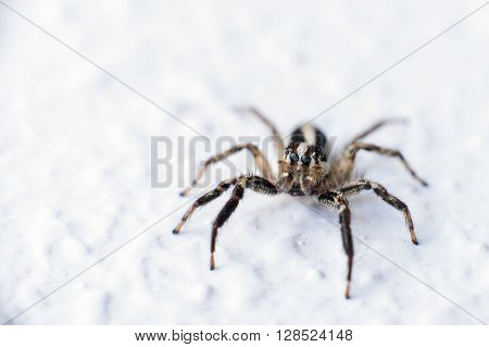 Macro photography, a little jumping spider in a white wall