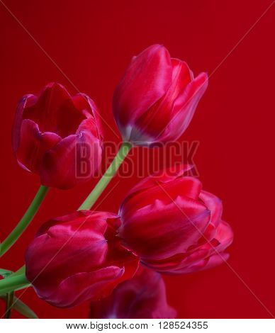 red tulips on red background. Flower .