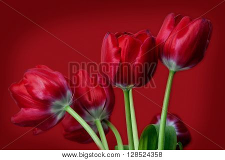 red tulips on red background . Flower
