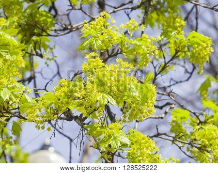 Blooming Norway Maple Acer platanoides flowers with blurred background macro selective focus shallow DOF