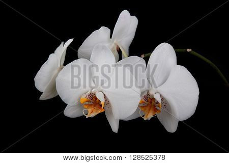 Orchid on a black background . Flower