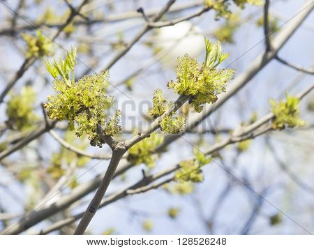 Flowers Common Ash Fraxinus excelsior on branch with bokeh background macro selective focus shallow DOF