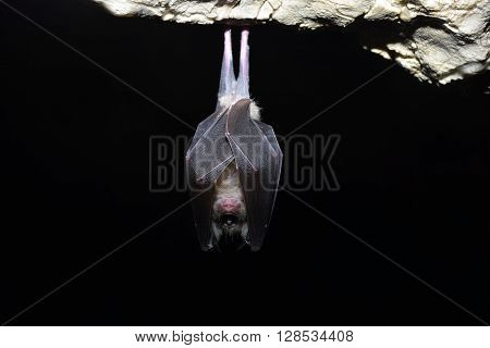 Greater horseshoe bat ( Rhinolophus ferrumequinum). nature
