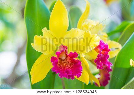 Beautiful Yallow Orchid Flower.