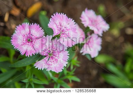 Wild Carnation Pink Flowers.