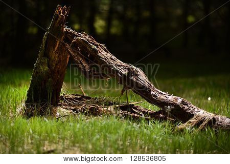 Dead tree stump in the forest in soft light