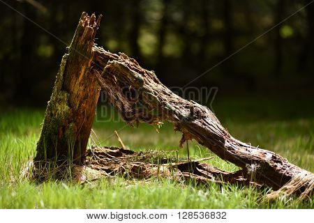 Dead tree trunk in the forest in the summer