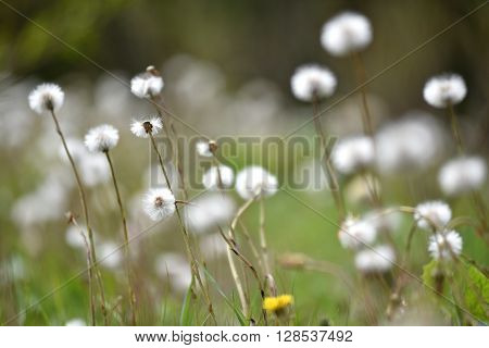 Fluffy dry dandelions in the wilderness in the summer
