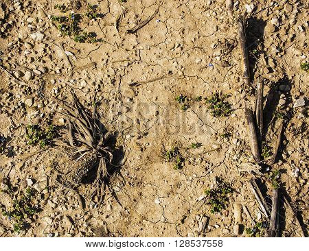 Dramatic dry cornfield with a cracked land.