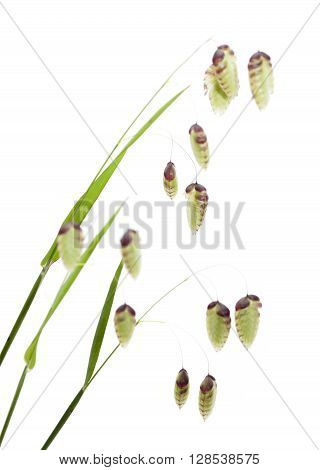 Briza, Quaking Grass