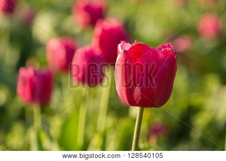 Tulips in a botanical garden.  We see the spring bloom in the Botanical Garden in Kiev.