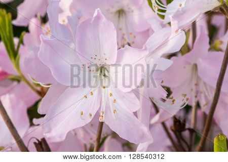 Blooming rhododendron in the botanical garden.  We see the spring bloom in the Botanical Garden in Kiev.