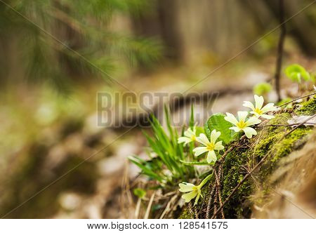 Beautiful growing wild primroses in the forest.