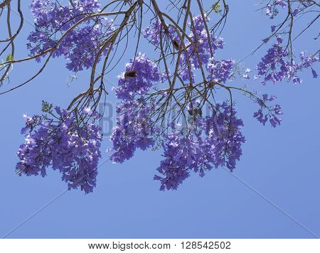 Natural Floral Background Of Jacaranda