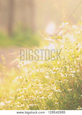 Soft focus of wild camomile sunny lit meadow