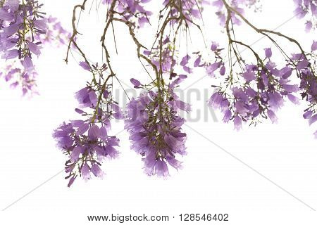 Jacaranda Flowers Isolated On White Background