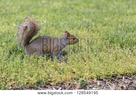 Brown squirrel stood on green grass with space and its bushy tail up in the air