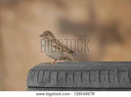 Little sparrow on the tyre at industrial zone