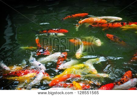 A group of fancy carp or Colorful koi carps swim in clear waters the pond colorful koi fish in the pond