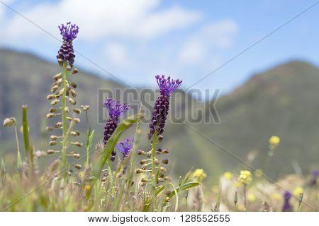 Flora Of Gran Canaria, Flowering Leopoldia Comosa
