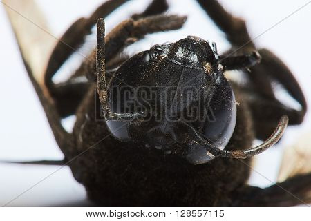 Head Of Bumble Bee