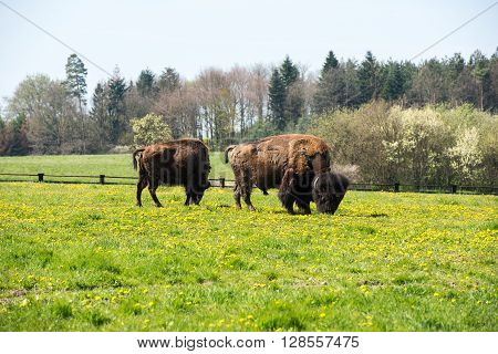 two bisons grazing on flowering green meadow