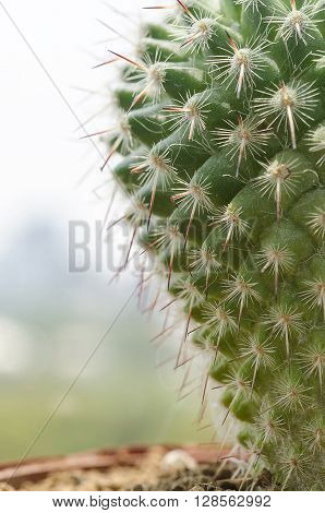 Close up green cactus on pot with office buliding background