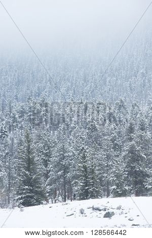 Beautiful winter scene landscape background with snow falling on forests of green mountain pine trees